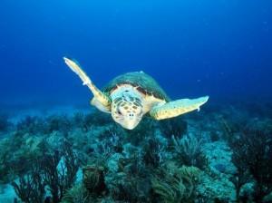 Loggerhead sea turtle, National Georgraphic